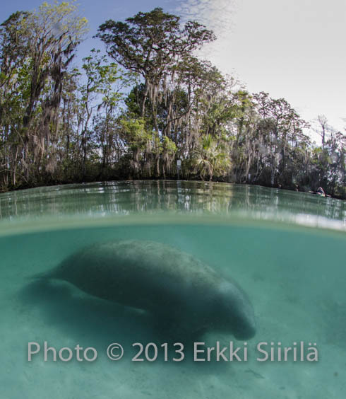 A manatee resting in a freshwater spring in the Crystal River wetlands. Photo copyright (c) Erkki Siirila.