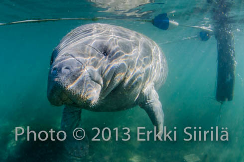 A Florida manatee leaving  the strictly protected zone in the Three Sisters' Springs protected area. Photo copyright (c) 2013 Erkki Siirila.