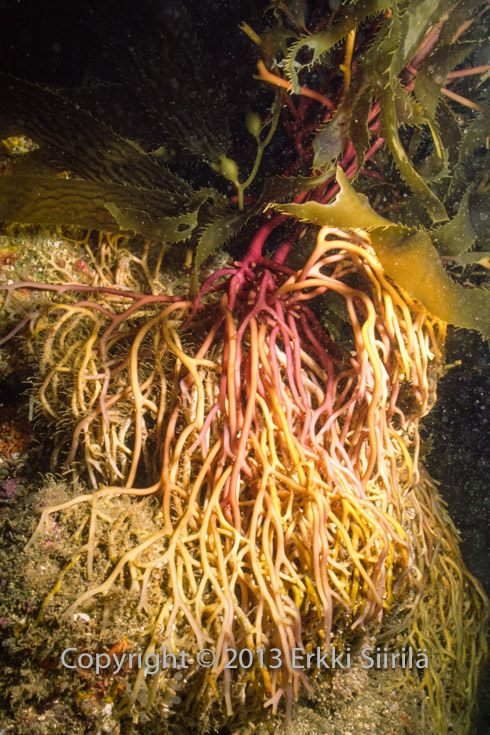 Holdfasts anchor the kelp to the sea bottom.