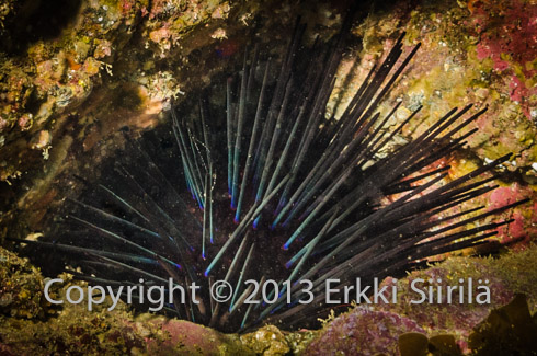 When sea urchin populations grow in an uncontrolled manner, they can destroy entire kelp forests.