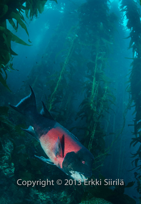California sheephead keep the sea urchin populations under control.