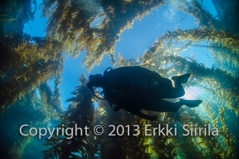 Diving in a kelp forest is an unforgettable experience.
