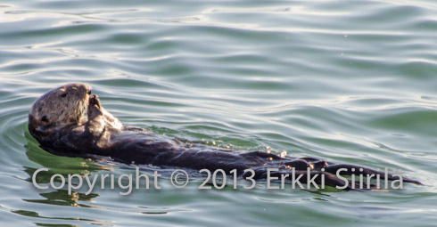 Sea otters feed on sea urchins and can be extremely useful to kelp forest wellbeing.
