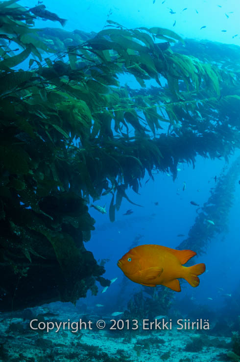 A garibaldi in the waters of Santa Catalina.